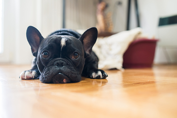 French Bulldog lays flat on the floor