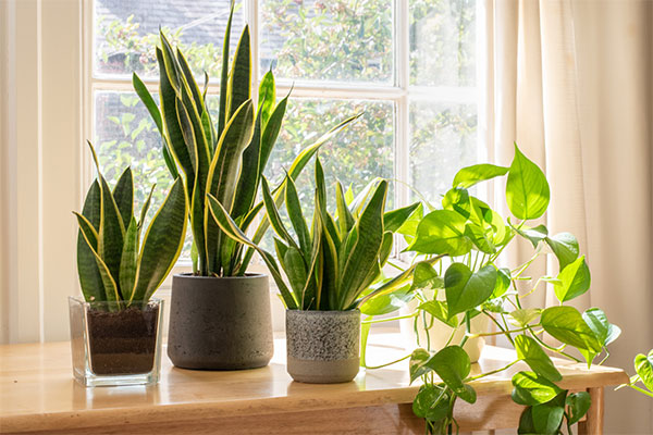Some plants sit in the sun on a home window sill